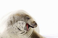 Crabeater seals Lobodon carcinophaga swimming along or hauled out on fast ice floe in Bourgeois Fjord 67°40´S 67°5´W near the Antarctic Peninsula  The...