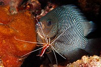 A Three Spot Dascyllus, also known as Domino Damselfish, Dascyllus trimaculatus, being cleaned by a Cleaner Shrimp, Lysmata amboinensis. Bali, Indones...