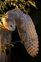 Barn owl preying at night from a pole (Tyto alba)