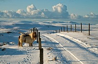 Tuskerbister ORPHIR ORKNEY Shetland pony in snow covered field road and Stenness countryside