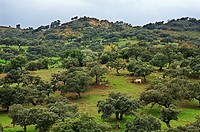 Meadow of oaks. Cattle. Natural Park of Aracena and Picos de Aroche. Huelva. Andalucia. Spain.