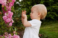 This photo shows a cute toddler girl wearing a white dress and playing with minature pink climbing roses and a humourous expression as she´s closely e...