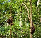 Sabah Malaysia, Borneo, Sepilok  Orang Utan in the Sepilok Orangutan Rehabilitation Centre