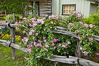 A rustic old garden fence with wild roses at the Peach Haus cottage in Fredericksburg, Texas, USA