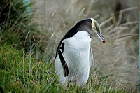 Yellow-eyed Penguin Megadyptes antipodes or Hoiho ashore in the evening  Otago Peninsula  New Zealand  South Pacific Ocean