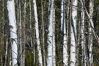 Young Spring Birches
