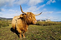 Ruthven Barracks KINGUSSIE INVERNESSSHIRE Garrison barracks Jacobite era and Scottish Highland cow