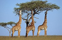 Tree killing giraffes