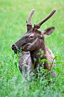 A Young Elk buck grazing in Great Smoky Mountains National park,