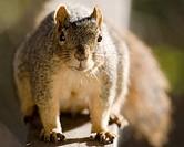 Fox Tree Squirrel (Sciurus niger)