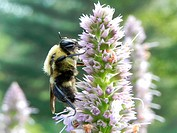 Bumblebee on Agastache Anise Hyssop, Licorice Mint, Agastache foeniculum, Agastache anisata, Stachys foeniculum flowers