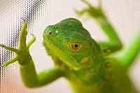 Young green iguana on house metal screen, Weston, Florida, USA