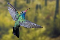 North America, USA, Arizona, Madera Canyon, Santa Rita Lodge  Male Broad-billed hummingbird in flight