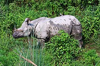 Nepal - Chitwan National Park - Asian Rhino