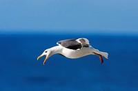 California Gull along Pacific Seashore California USA