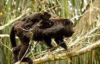 A black female howler monkey carries her baby as she climbs a tree in the Las Guacamayas Eco- tourist Center in the Montes Azules Biosphere Reserve in...