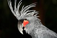The Palm Cockatoo, Probosciger aterrimus, also known as the Goliath Cockatoo, is a large smoky-grey or black parrot of the cockatoo family  Bali Bird ...