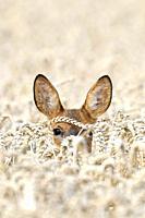 Roe deer (Capreolus capreolus) in grain field, Summer, Germany, Europe