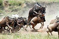 Wildebeest in action