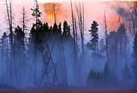 Morning fog envelopes a stand of lodgepole pines at Yellowstone National Park, Wyoming