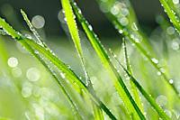 Dew in grass