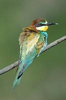 European Bee-eater (Merops apiaster)