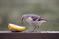 A Northern Mockingbird, Mimus polyglottos, eating a pear  New Jersey, USA