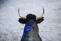 Close up of Camargue bull with ribbon on its back during Course Camarguaise competition at Aubais near Nîmes, France