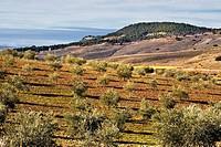 Olives in the Valdeloro La Guardia Toledo Castilla la Mancha Spain