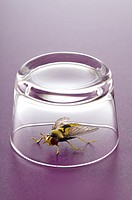 A fly under a glass