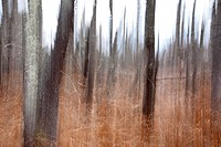 Forest along the old Swift River Railroad in White Mountains, New Hampshire USA  This area was logged during the Swift River Railroad era, which was a...