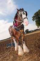 A shire horse  breed of draught horse  with plough attatched for ploughing in the Uk