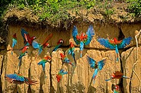 RED-AND-GREEN MACAW ara chloroptera, GROUP EATING CLAY, CLIFF AT MANU NATIONAL PARK, PEROU