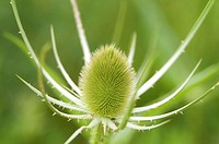 Closeup of a green Teasel Bloom