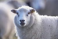Suffolk sheep - Ovis aries - UK.