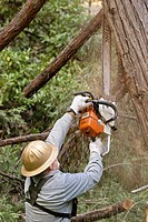 Logger with chainsaw trimming limbs on felled tree