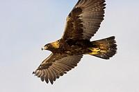 Golden Eagle Aquila chrysaetos in Flight Montana USA