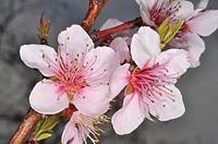 Flores de almendro Prunus dulcis.