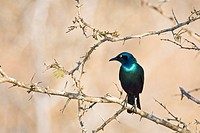 A glossy starling (Lamprotornis nitens) sitting on a branch, Kruger National Park, South Africa