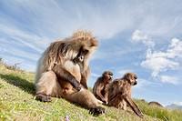 Gelada, Gelada Baboon or Ethiopian Lion Theropithecus gelada in the Simien Mountains National Park in Ethiopia  Geladas are an endemic primate species...