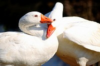 Domestic goose Anser anser domesticus