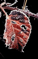 Close up of a blackberry leaf Rubus fruticosis aggregate on a cold winters morning edged with a thick coating of frost