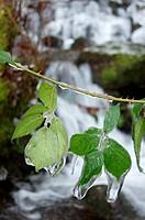Frozen Blackberry leaves
