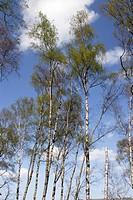 Silver Birch trees (Betula pendula), Dartmoor, Devon, England, UK