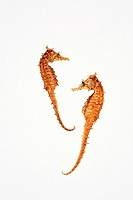 Two sea horses on White background