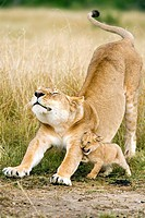 Lioness and Cub Stretching - Masai Mara National Reserve, Kenya