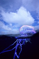 Portuguese Man of War (Physalia physalis), Eastern Atlantic, Galicia, Spain