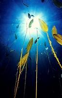 Freshwater plant, Floating pondweed (Potamogeton natans), Lago del Valle lake, Lagos de Somiedo, Asturias, Spain