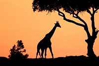 The tallest animal in the world which browses on tree leaves and twigs  At sunrise the silouhette of the giraffe against the red and orange sky looks ...