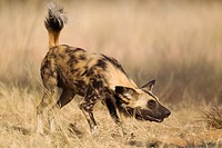 African Wild Dog Lycaon pictus - This captive animal is fed and show the same aggressive behaviour at the feeding place as it would do in the wild whe...